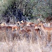 Krugerparken 2002 07 Syd Afrika<br /> Impala hjortar<br /> <br /> <br /> FOTO JOACHIM NYWALL KOD0708840825<br /> COPYRIGHT JOACHIMNYWALL:SE<br /> <br /> ****BETALBILD****<br />  <br /> Redovisas till: Joachim Nywall<br /> Strandgatan 30<br /> 461 31 Trollhättan<br />  Prislista: BLF, om ej annat avtalats