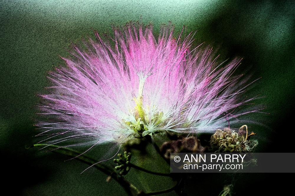 Mimosa flowers macro, Levy Park & Preserve, South Merrick, New York, USA, summer 2015