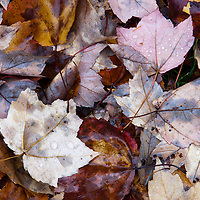 Wet maple leaves on the ground after fall rain