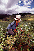 A woman in a white top hat picks lima beans near Cuzco, Peru.
