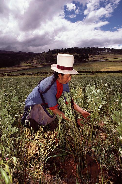 A woman in a white top hat picks lima beans near Cuzco, Peru.