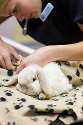 Rabbit having claws trimmed at Rushcliffe Veterinary Surgery, Nottingham, UK.