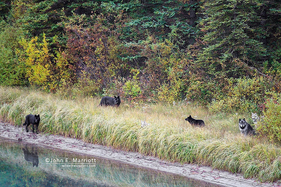 Wild gray wolf pack of six wolves sitting by a river in the boreal forest in Banff National Park in Alberta, Canada.