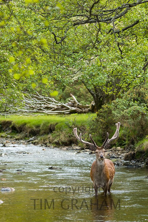 Red Deer stag, Cervus elaphus, adult mature male with large antlers in river scene at Lochranza, Isle of Arran, Scotland