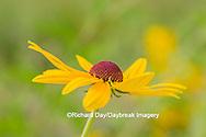 63899-05412 Sweet Black-eyed Susan (Rudbeckia subtomentosa) Marion Co., IL