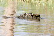 Africa, Ethiopia, Nile Crocodile