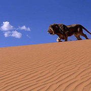 African Lion, (Panthera leo)  Sub adult in dunes. Captive Animal.