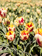 Tulpen in de omgeving Noordwijk - Tulips in the Netherlands near Noordwijk