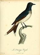 Drongo fingah from the Book Histoire naturelle des oiseaux d'Afrique [Natural History of birds of Africa] Volume 4, by Le Vaillant, Francois, 1753-1824; Publish in Paris by Chez J.J. Fuchs, libraire 1805