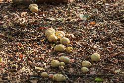 Gele aardappelbovist, Scleroderma citrinum