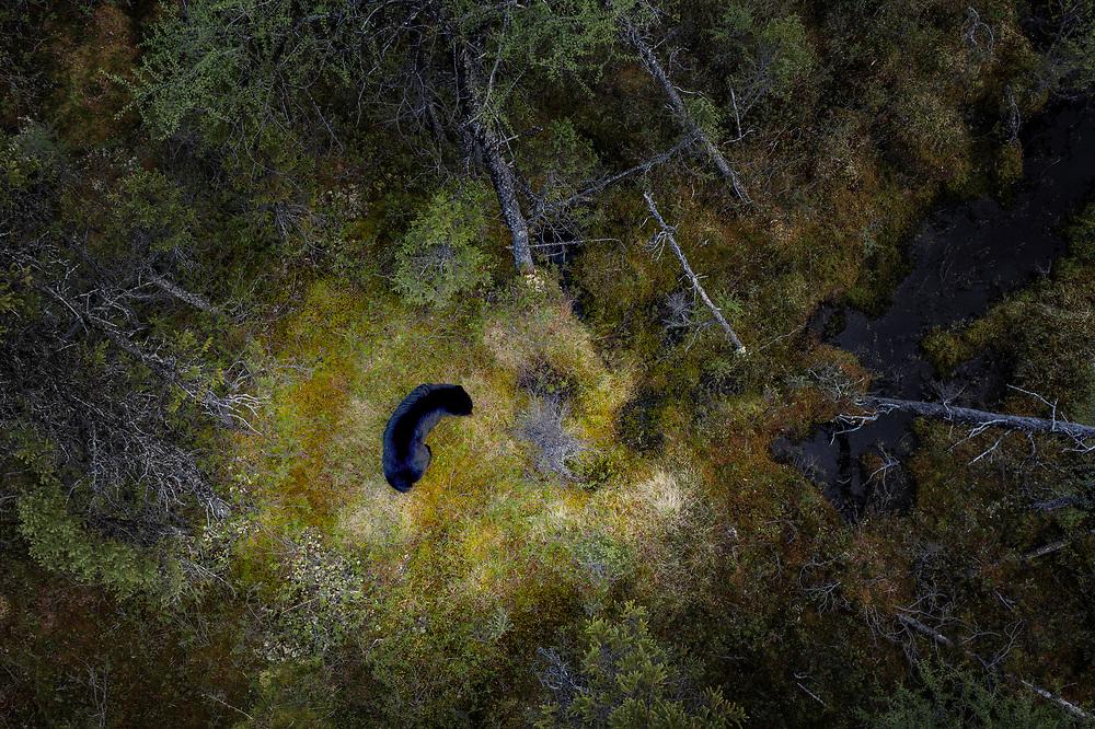 Black bear at James Bay Road, Quebec