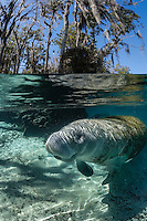 Florida manatee, Trichechus manatus latirostris, a subspecies of the West Indian manatee, endangered. An adult female manatee relaxes after she just did a full stretch and roll in the warm shallow waters that rim the springs. Tranquil and undisturbed behavior. Split-level image. Vertical orientation showing some sky and trees with clear water and warming sun rays. Three Sisters Springs, Crystal River National Wildlife Refuge, Kings Bay, Crystal River, Citrus County, Florida USA.
