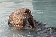 sea otter, Enhydra lutris, eating mussel, Valdez, Alaska ( Prince William Sound ), USA