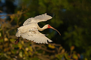 Stock photo of white ibis captured in Florida.  The white ibis is one of the most numererous wading birds in Florida and the southeast. These birds are highly sociable.  They nest and feed in large colonies.