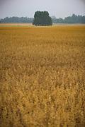 Golden oat fields in gray day after rain, near Mētriena, Vidzeme, Latvia Ⓒ Davis Ulands   davisulands.com