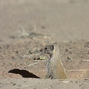 Yellow Mongoose, (Cynictis penicillata) Poking head out of ground squirrel den. Kalahari Desert. Africa.