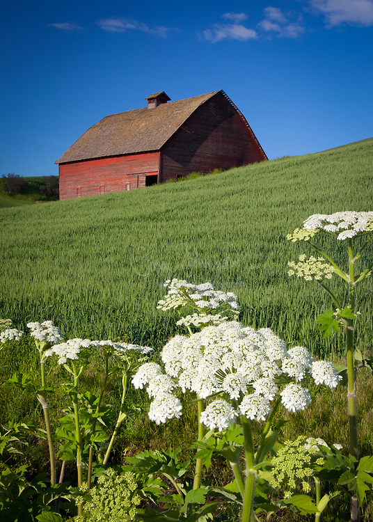 Old barn building in the agricultural Palouse area of eastern Washington state with cow parsley flowers in the foreground