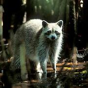Raccoon, (Procyon lotor) Scavenging in mangrove estuary. Florida