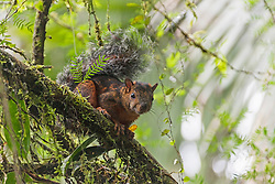 Rotflanken-variegated squirrel on a tree looking at camera, Samara, Costa Rica