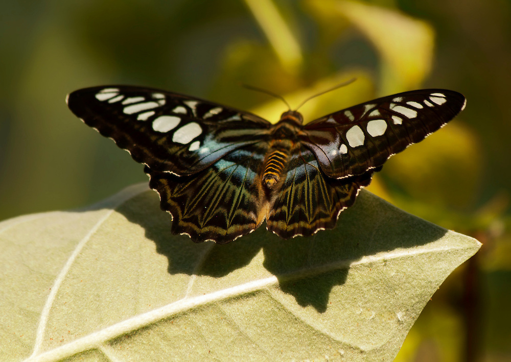 A gorgeous butterfly hanging out on a leaf at the Butterfly House at the Saint Louis Zoo.
