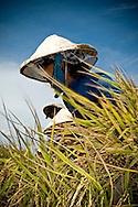 a vietnamese female farmer harvests rice in a field of Kanh Hoa province, Vietnam, Asia