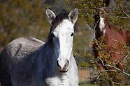 Salt River Horses, AZ