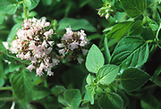 Close up selective focus photograph of Marjoram plant branches with flowers