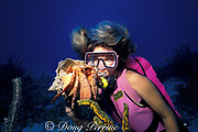 diver examines giant hermit crab, <br /> Petrochirus diogenes, Whale Cay Wall, <br /> Berry Islands, Bahamas ( Western Atlantic Ocean )