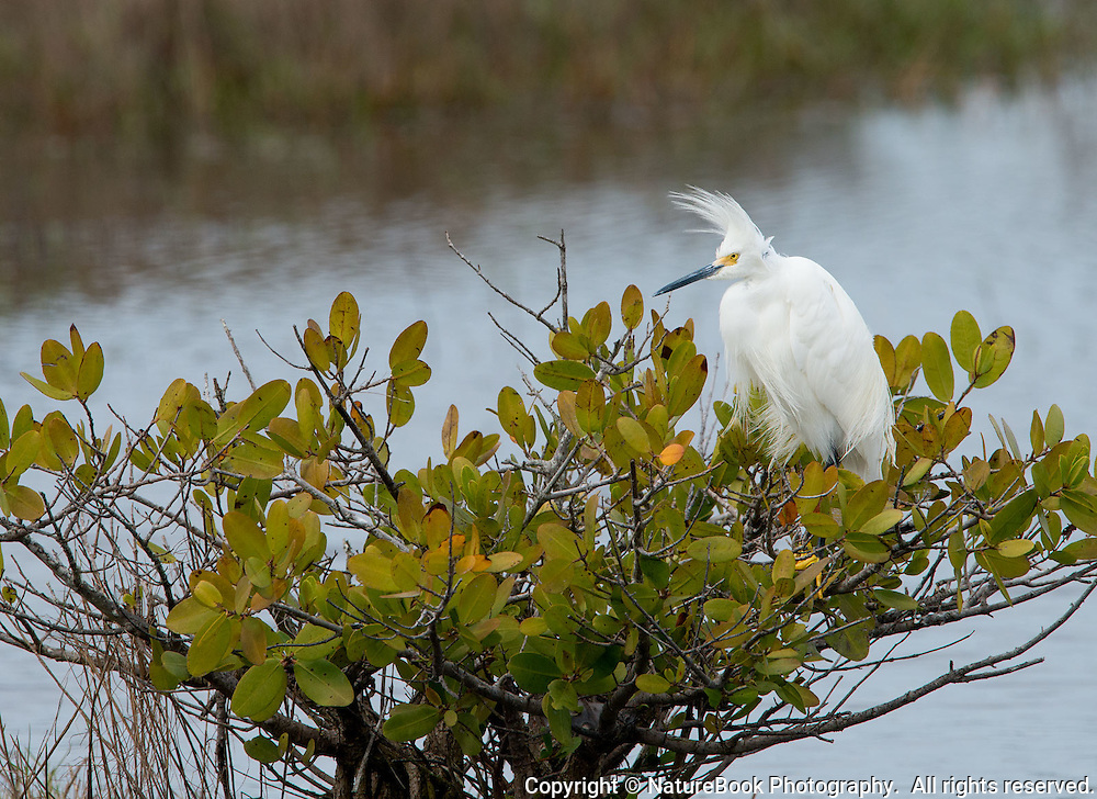 A White Egret perches on a mangrove at Merritt Island National Wildlife Refuge in Florida, adjacent to the Kennedy Space Center.  A strong wind gives the bird's head an interesting profile.