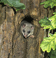 Edible Dormouse Glis glis Length 28-33cm Plump rodent that recalls a miniature Grey Squirrel. Introduced to Britain, possibly in Roman times. Adult is fat-bodied in autumn but sleek in spring, after losing weight in hibernation. Has a mainly grey coat but throat and belly are whitish and hint a dark stripe down back is sometimes seen. Note the large eyes, rounded ears, and long toes. Tail is long and bushy. Utters chattering grunts and squeals. Introduced and now widespread in the Chilterns. Favours mature deciduous woodlands and mature gardens.