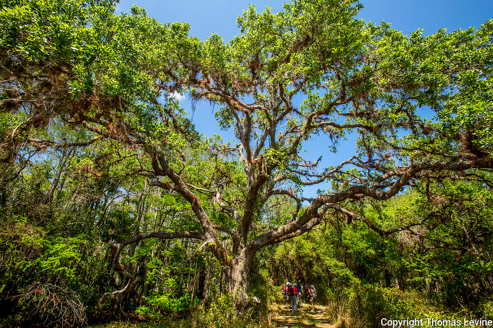 A group of hikers are dwarfed by a very old tree at Fish Eating Creek, Florida