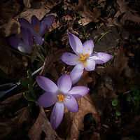Purple Crocuses -- Spring is Coming. Image taken with a Leica D-Lux 5 (ISO 100, 7.5 mm, f/8, 1/160 sec).