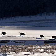 American bison (Bison bison) herd in the Lamar Valley. Yellowstone National Park,  Montana.