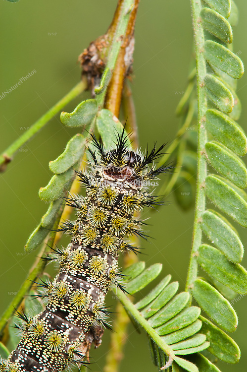 Juno Buckmoth Caterpillar (Hemileuca juno), a venomous, stinging caterpillar, feeding in Mesquite (Prosopis glandulosa), its host plant. Tucson, Arizona.