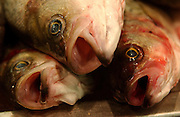 Fish at the Fulton Fish Market in Manhattan, NY. 2/7/2005
