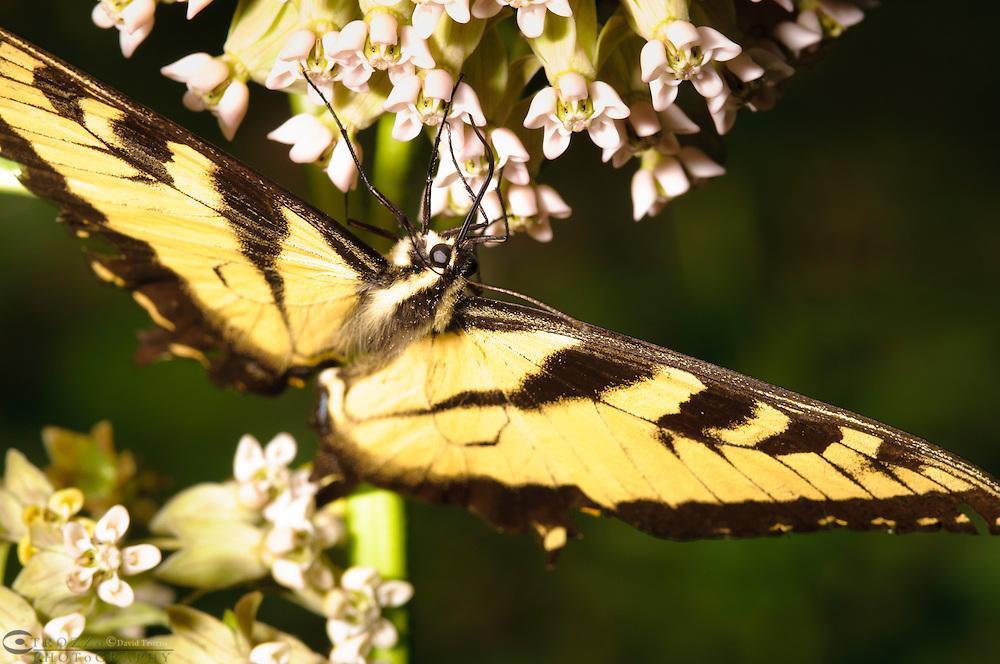 Eastern tiger swallowtail feeds on milkweed.