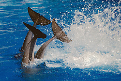 Bottlenosed Dolphins Performing