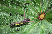 Lepidoptran Caterpillar<br />Manu Cloud Forest. Manu National Park.  PERU<br />South America
