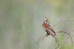 Dickcissel, Trinity River Audubon Center, Dallas, Texas, USA.