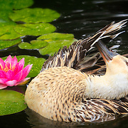 Lightly colored blonde Mallard duck hen preening her feathers while bathing in waterlily pond next to large pink bloom.