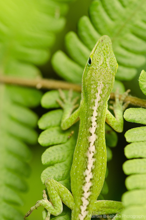 Green Anole (Anolis carolinensis), Lihue-Koloa Forest Reserve, Kauai, Hawaii