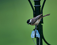 Black-capped Chickadee. Image taken with a Nikon D810a camera and 600 mm f/4 VR telephoto lens