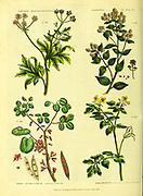 Caucalis [Broad-leaved Bastard Parsley] Ceanothus [New Jersey Tea] Ceres Siliquastrum [Cercis Judas Tree] Chelidonium [Great Celandine] from Vol 1 of the book The universal herbal : or botanical, medical and agricultural dictionary : containing an account of all known plants in the world, arranged according to the Linnean system. Specifying the uses to which they are or may be applied By Thomas Green,  Published in 1816 by Nuttall, Fisher & Co. in Liverpool and Printed at the Caxton Press by H. Fisher