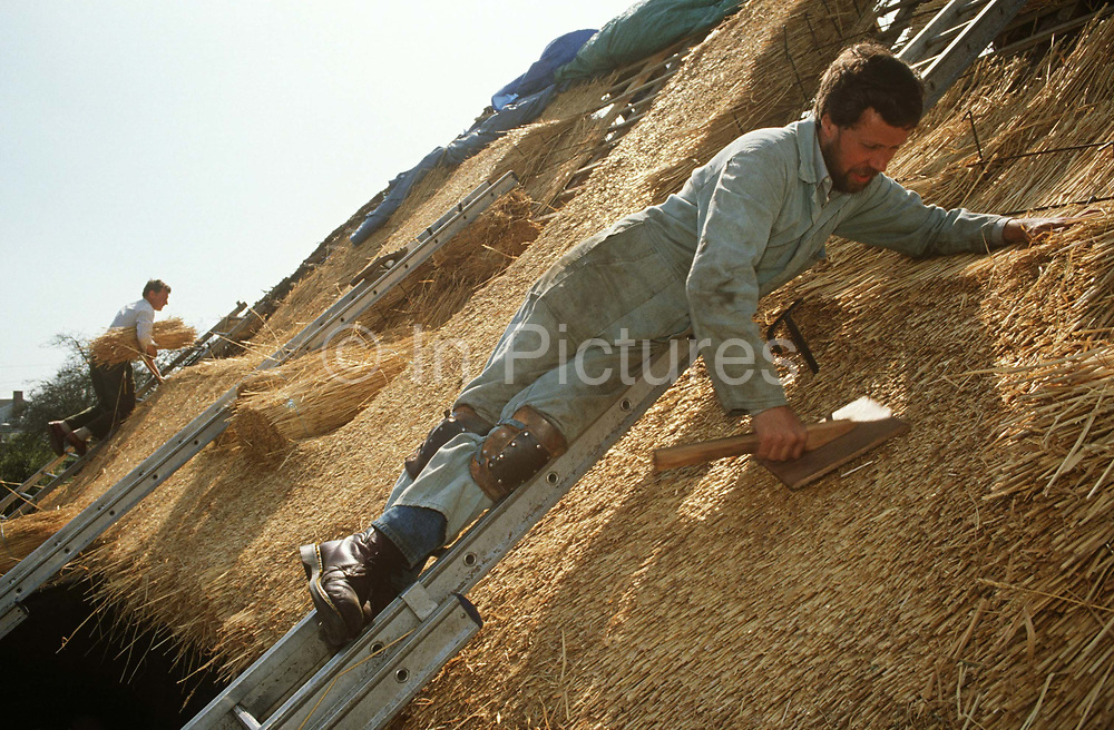 Layering water reed on to the roof of a Suffolk cottage, traditional thatchers work together in afternoon sun. While in the background new straw is brought up onto the roof while in the foreground another thatcher leans into the ladder and the roof's slope. Using a thatching tool called a Leggett, Legate, bat or dresser to position the thatch on the roof. Typically one end is treated so as to catch the ends of the reed used. This tool is used by the thatcher to dress the reed into place and ensure an even finish. Using techniques developed over thousands of years, good thatch will not require frequent maintenance. In England a ridge will normally last 10–15 years. Thatching is the craft of building a roof with dry vegetation such as straw, water reed, sedge, rushes and heather, layering the vegetation so as to shed water away from the inner roof.