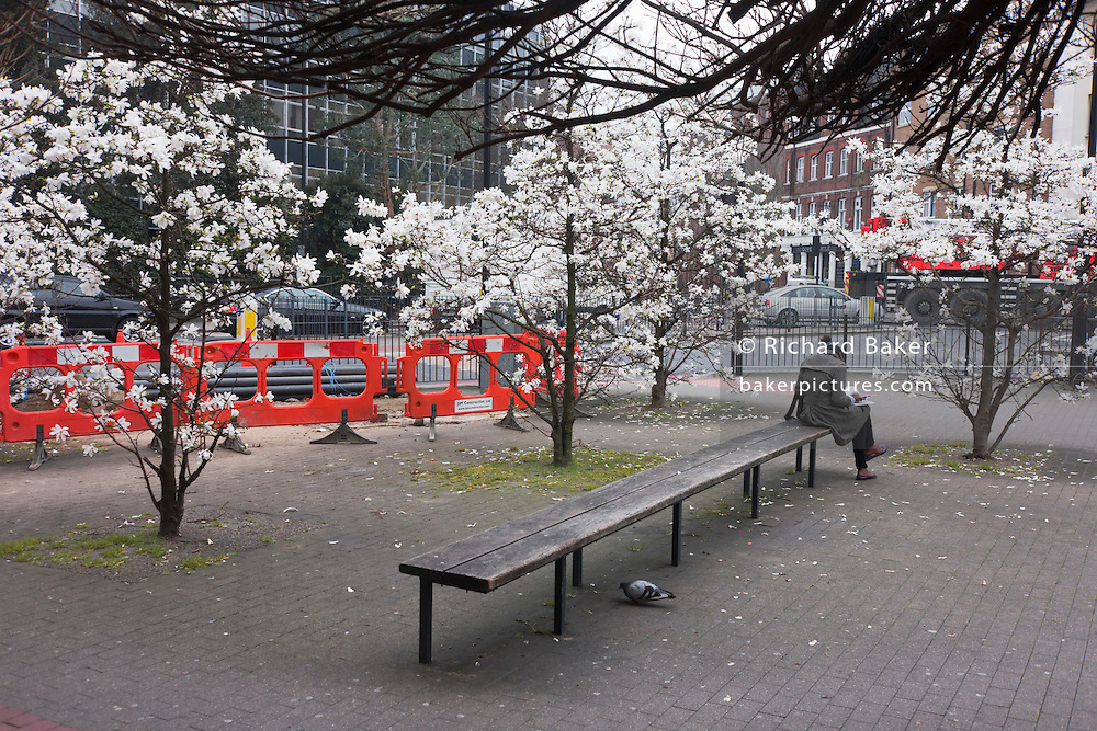 Woman sits alone working on writing on a city bench beneath spring blossom and roadworks barriers.