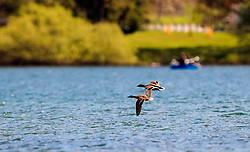 THEMENBILD - Enten überfliegen den See, aufgenommen am 30. April 2016, am Zeller See, Zell am See, Oesterreich // Ducks fly over the Lake Zell, Zell am See, Austria on 2016/04/30. EXPA Pictures © 2016, PhotoCredit: EXPA/ JFK
