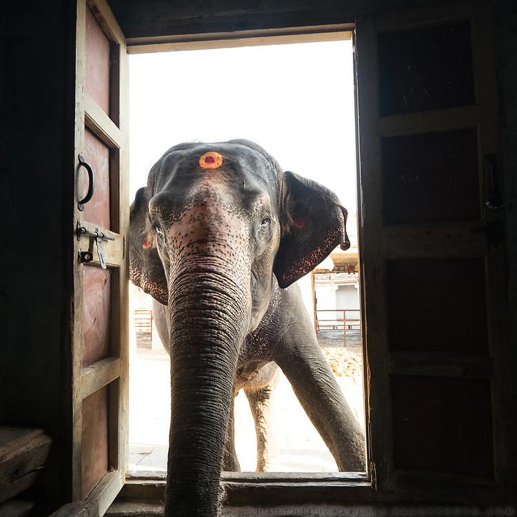 In Hampi, an elephant looks inside his Mahout's home. Near Virupaksha temple.