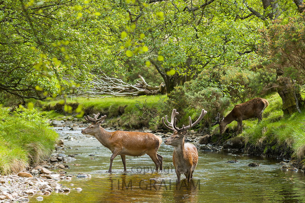 Red Deer stags, Cervus elaphus, with large antlers in river scene beside young males with smaller antlers at Lochranza, Isle of Arran, Scotland