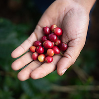 close up of a handful of red coffee cherries