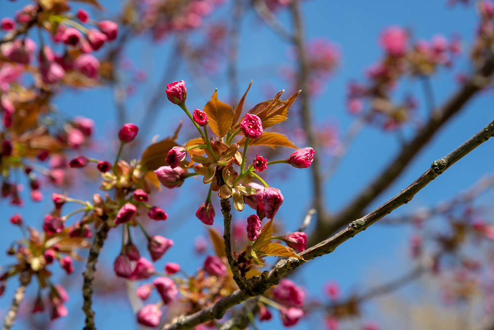 Buds on the trees in Patters Park in Spring Lake begin to bloom.